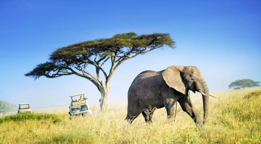 large-african-elephant-against-acacia-tree-and-safari-vehicles-in-background-600203862-5b04d639fa6bcc0037b1b393