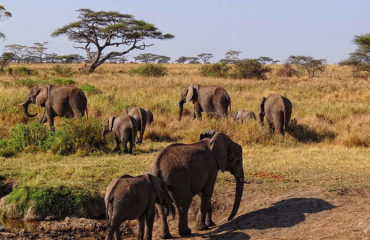 herd-of-elephants_640_480