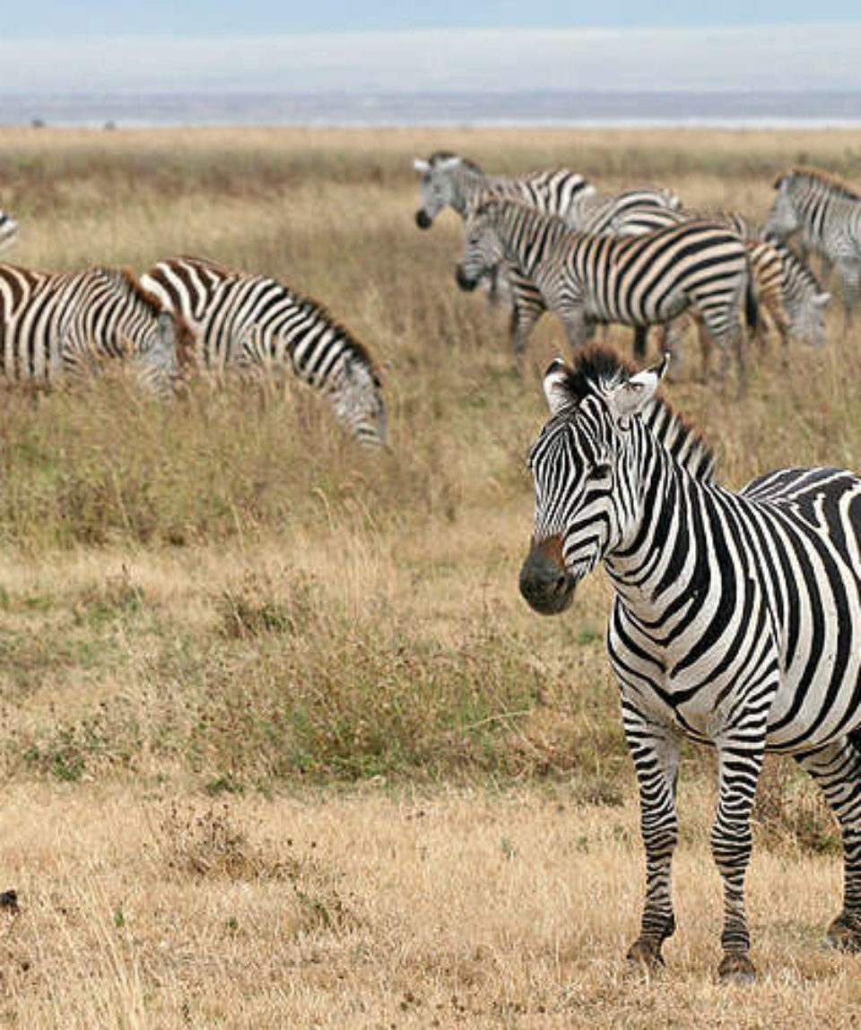zebras-in-the-ngorongoro-crater_640_480